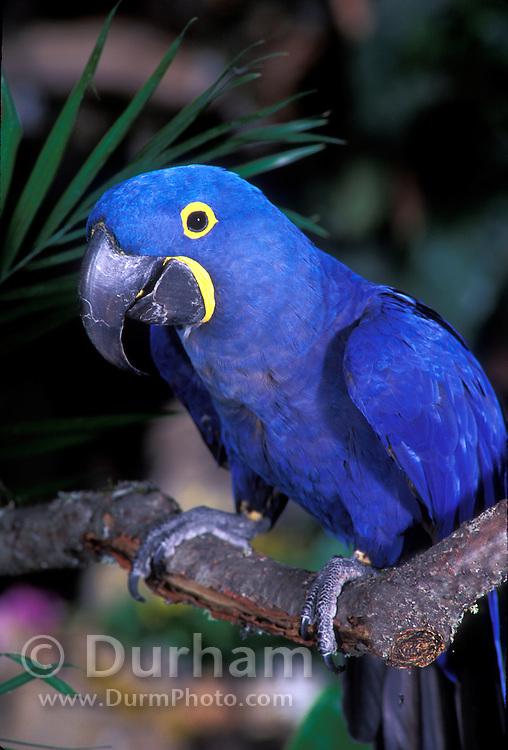 Hyacinth Macaw (Anodorhynchus hyacinthinus) portrait. Range: E Brazil - E Bolivia.