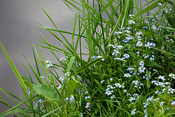Forget-me-not growing wild by a river. Myosotis scorpioides