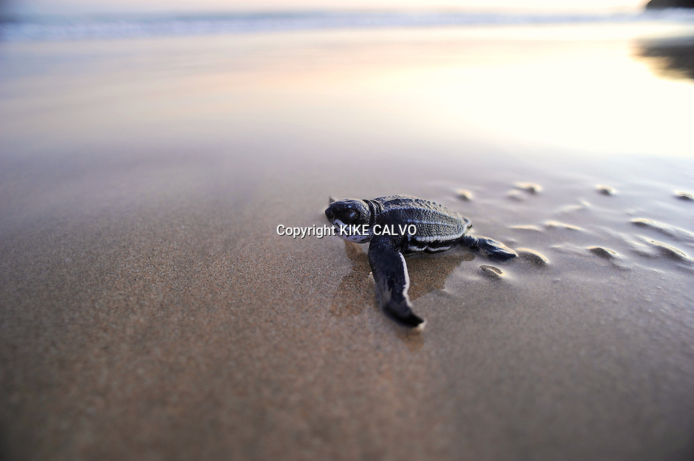 A tiny leatherback turtle ( Dermochelys coriacea) advances into the ocean at Playa Ventanas, next to Playa Grande. The area is a Marine Turtle National Park, a prime nesting site of this species on the Costa Rican Pacific coast.