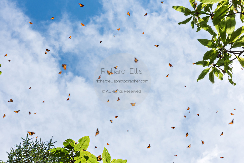 Monarch Butterflies swarm in the sky to warm up in the high mountains during the annual mass migration in the forests of the El Capulin Monarch Butterfly Biosphere Reserve in Macheros, Mexico. Each year millions of Monarch butterflies mass migrate from the U.S. and Canada to the Oyamel fir forests in central Mexico.