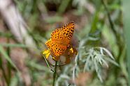 Speyeria coronis semiramis - Coronis Fritillary