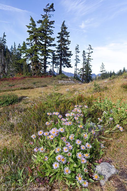 A late blooming Subalpine Aster (Eurybia merita) still looking vibrant even after most foliage around it is going dormant for the winter. Photographed from the Chain Lakes Trail in Heather Meadows just before the Fall's first snow -  Mount Baker-Snoqualmie National Forest in Washington State, USA