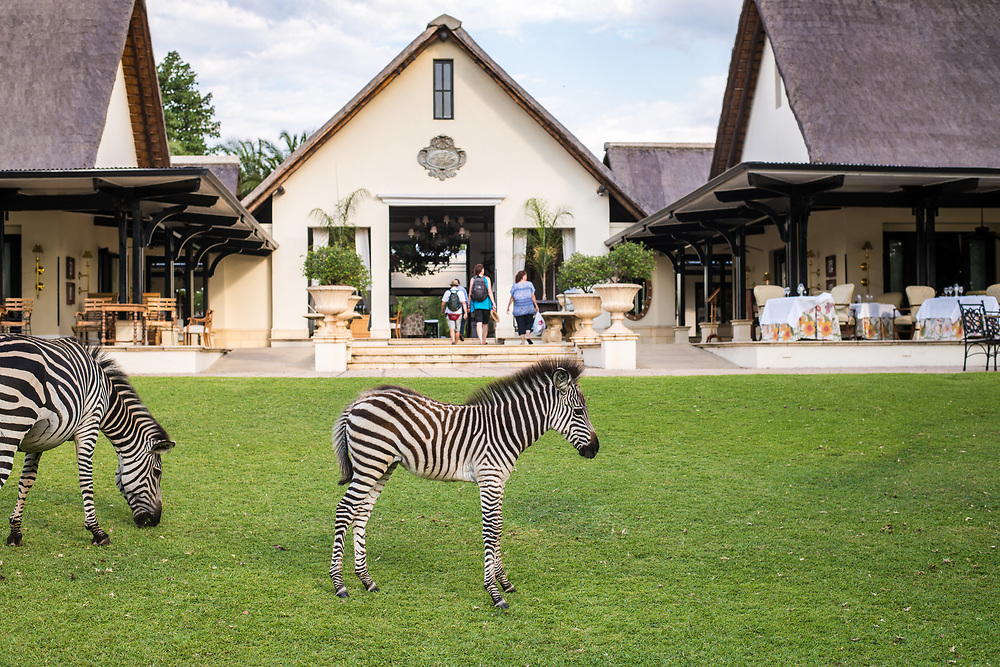 Wild zebras graze on the grasses of the Royal Livingstone Hotel in Livingstone, Zambia