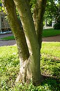 college green, Mapp Athens, summer, Tree Tour, Saucer Magnolia