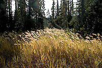 Wind blown fall grasses, Strathcona Park Vancoouver Island BC