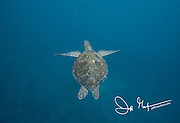 A Galapagos green sea turtle swims below the surface near Isabela island, part of the Galapagos islands of Ecuador.