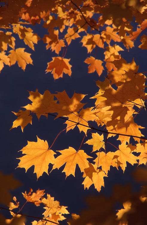 PA landscapes, autumn oak leaves, backlight
