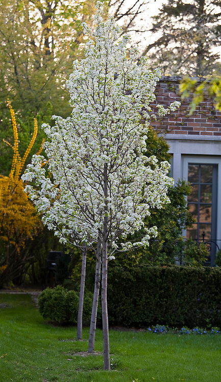 Chanticleer pear tree in bloom