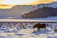 Elch im Yellowstone Nationalpark, USA