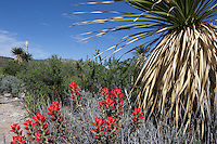 Indian Paintbrush, (Castilleja integra) at Big Bend National Park, Texas.