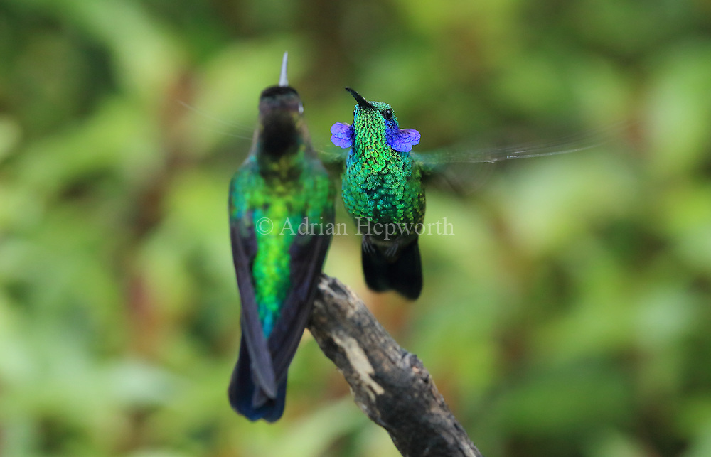 Green Violet-ear hummingbird (Colibri thalassinus) male raising ear patches in territorial display. Cerro de la Muerte mountain range, Costa Rica. <br />