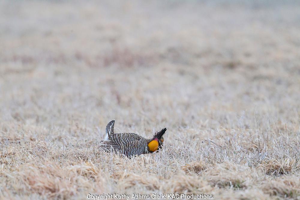 Greater prairie-chicken, Tympanuchus cupido, booming grounds, Calamus Outfitters near Burwell, Nebraska