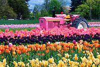 Pink tractor in tulip fields near Hood River, Oregon.