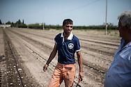 Cerignola, Italia - 22 agosto 2013. Un immigrato bulgaro lavora in un campo di pomodori nei pressi di Foggia in Puglia.<br /> Ph. Roberto Salomone Ag. Controluce<br /> ITALY - An immigrant works in a tomato field near Cerignola in the italian southern region of Puglia on August 22, 2013.