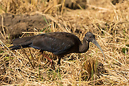 A juvenile red-naped ibis walks through a flooded field, looking for food, Tamil Nadu, India.