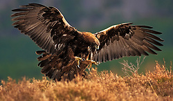 A Golden Eagle is about to land in the heather in the Cairngorms National Park in the Scottish Highlands