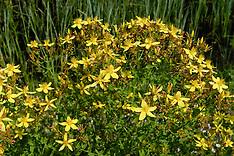 Hypericaceae, Hertshooifamilie