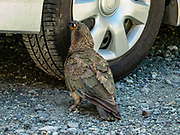 A curious kea bites a car tire. The kea (Nestor notabilis) is the world's only alpine parrot. In 1986, it received full protection under the Wildlife Act. The kea is one of ten endemic parrot species in New Zealand. Kea are known for their intelligence and curiosity, both vital to their survival in a harsh mountain environment. Kea can solve logical puzzles, such as pushing and pulling things in a certain order to get to food, and will work together to achieve a certain objective. They have been filmed preparing and using tools. Photographed at Homer Tunnel, Fiordland National Park, Southland region, South Island of New Zealand. In 1990, UNESCO honored Te Wahipounamu - South West New Zealand as a World Heritage Area.