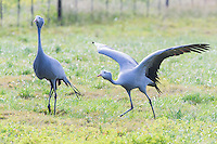 Blue Cranes taking off from a farm field, Overberg, Western Cape, South Africa