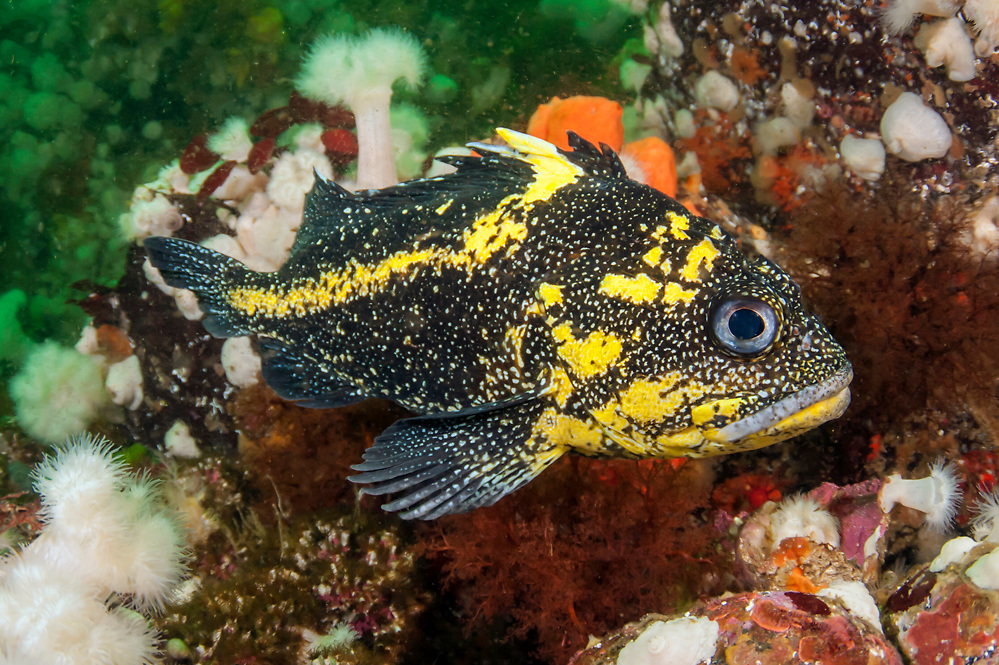 A China Rockfish, Sebastes neulosus, swims among anemones offshore Browning Passage, Vancouver Island, British Columbia, Canada.