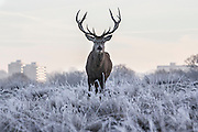 UNITED KINGDOM, London: 18 January 2017 A red deer stag in a frosty Richmond Park during sunrise this morning. Temperatures dropped to -4C in certain parts of the capital last night causing wide spread frost. Rick Findler / Story Picture Agency
