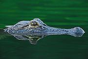 Alligator head reflecting in green water