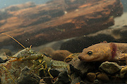 Neotenic or paedomorphic adult pacific giant salamander (Dicamptodon tenebrosus) stalking a signal crayfish (Pacifastacus leniusculus). Salamanders are aggressive predators and will attack and eat various large prey. Photographed in the Columbia River Gorge, Oregon.