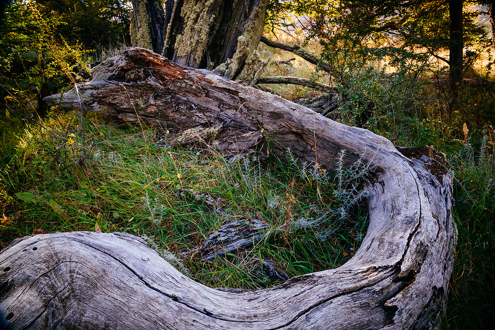 The curved lines of an Antarctic Beech trunk flow into Los Glacieres National Park in Argentina.