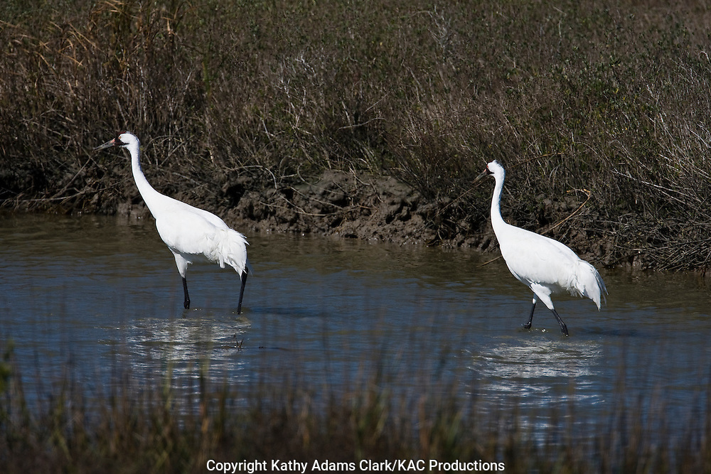 Whooping crane, pair, Aransas National wildife refuge, coastal texas.  winter.