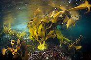 Durvillaea antarctica (Bull Kelp)