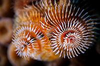 Christmas tree worm (Spirobranchus giganteus) at Deep Sea Quest scuba dive site; Roatan, Bay Islands, Honduras.