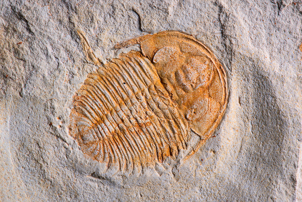 Xystridura templetonensis (sagittal length: 32mm) is a rare Australian trilobite from the Middle Cambrian strata of central Queensland
