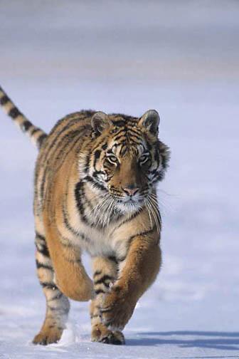 Tiger, (Panthera tigris) Running. Captive Animal.
