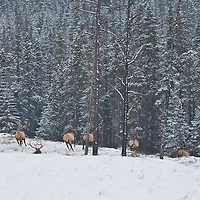 bachelor elk herd spooked and scatters into the deep woods winter snow