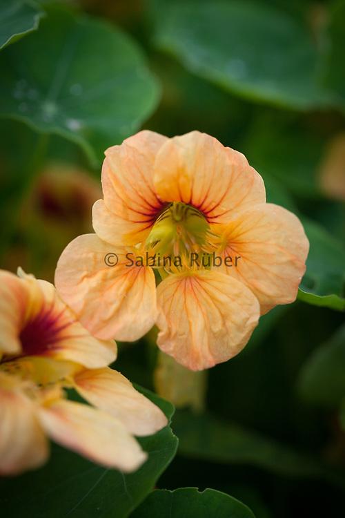 Tropaeolum minus 'Tip Top Apricot' - dwarf nasturtium