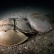 This is a pair of tri-spine horseshoe crabs (Tachypleus tridentatus) walking across the ocean bottom in shallow water just prior to spawning. The smaller male uses modified legs (pedipalps) to grasp onto the female in front. The male stays attached in this manner throughout the reproductive season, going wherever the female goes.<br />