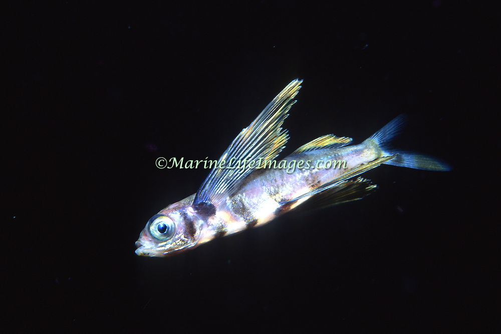 Atlantic Flyingfish, juvenile, inhabit open water in Tropical West Atlantic; picture taken West Florida, Gulf of Mexico.