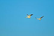 Snow geese (Anser caerulescens) in flight<br />Tuxford<br />Saskatchewan<br />Canada