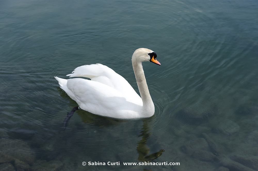 Mute Swans, Humber Bay Park, Toronto, Ontario