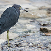 Blue Heron. Riviera Maya. Mexico.