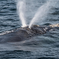 The unique v-shaped blow of a North Atlantic right whale (Eubalaena glacialis) created by the two nostrils being set at angles to eachother. Gulf of Saint Lawrence, Canada. IUCN Status: Endangered
