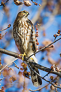 A cooper's hawk perches on a tree branch, surrounded by dying leaves