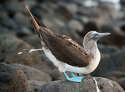 Blue Footed Booby doing what comes naturally.