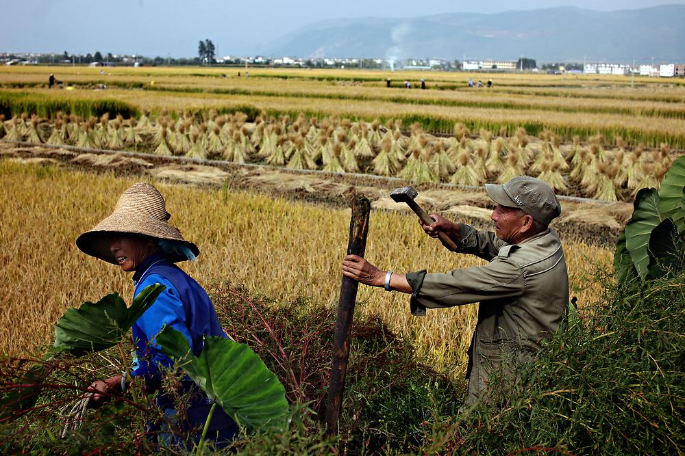 Harvest work, Dali,Yunnan, China; September, 2013.