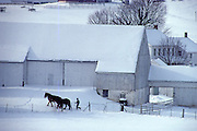 Amish farmer takes horses out at snow covered farm, Lancaster, PA