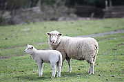 Urubici_SC, Brasil.<br /> <br /> Imagens da Serra Catarinense em Urubici, Santa Catarina. Na foto ovelhas.<br /> <br /> Urubici, Santa Catarina. In this photo sheeps.<br />  <br /> Foto: JOAO MARCOS ROSA / NITRO