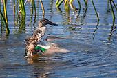 Birds Waterfowl