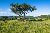 Zululand bushveld and acacia tree  in summer, Thanda Private Game Reserve, KwaZulu Natal, South Africa