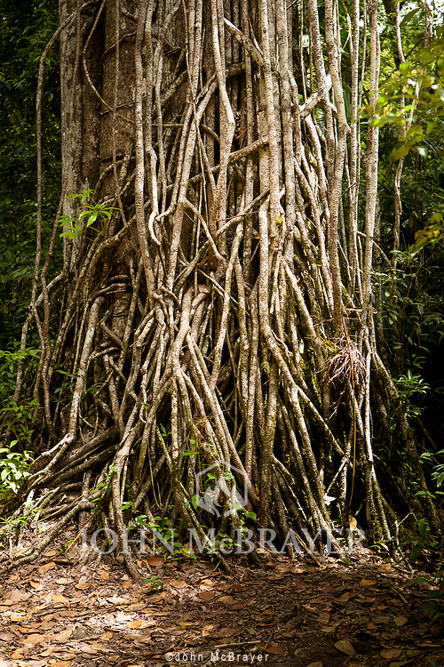 A thinck mat of vines scale a tree in the jungle near Tikal.  © John McBrayer