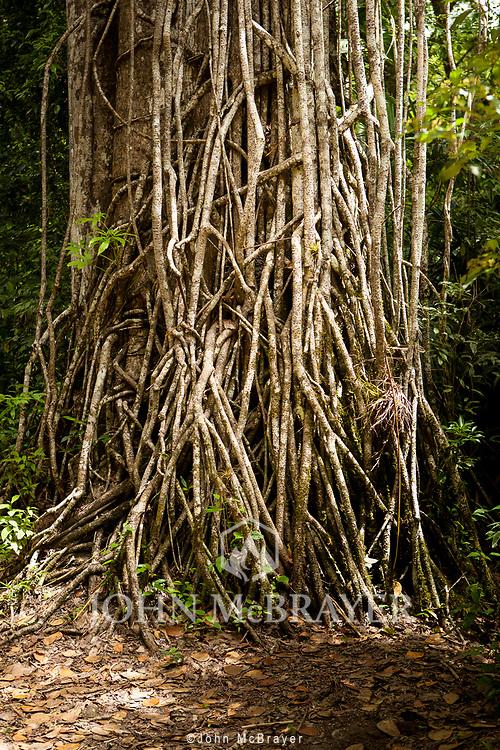 A thinck mat of vines scale a tree in the jungle near Tikal.  © John McBrayer